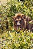 Lion Resting Fotografia Stock Libera da Diritti