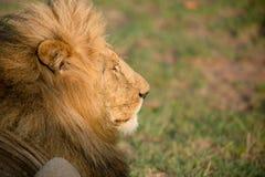Lion Resting Stock Afbeelding