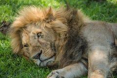 Lion Resting Stock Afbeeldingen
