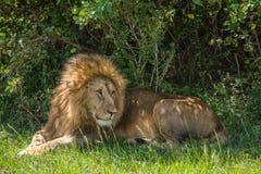 Lion Resting Royalty-vrije Stock Afbeeldingen