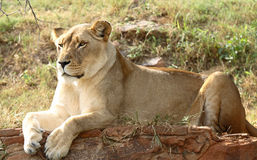 Lion resting. Female lion resting on rock face royalty free stock photo