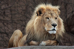 Lion Resting. Lion sitting on a boulder at zoo Stock Photography