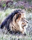 Lion Resting Imagens de Stock
