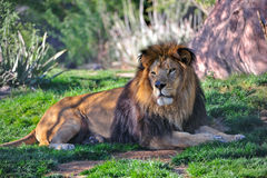 Lion resting Stock Photography