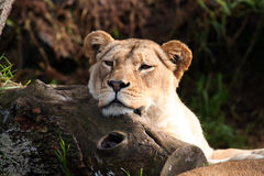 Lion resting Stock Image
