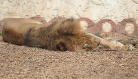 Lion Resting Foto de archivo libre de regalías