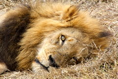 Lion resting in the African bush Royalty Free Stock Image