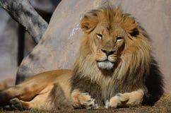 Lion Resting Against dorato splendido una grande roccia Fotografie Stock
