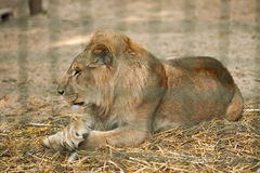 Lion resting in aviary in zoo Stock Photo