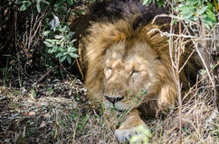 Lion resting Royalty Free Stock Photo