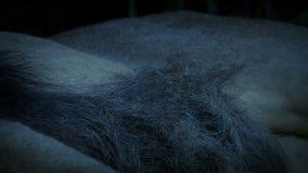 Lion Resting Body At Dusk