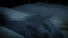 Lion Resting Body At Dusk stock footage