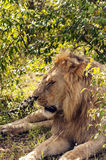Lion resting Royalty Free Stock Photos