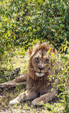 Lion resting Royalty Free Stock Image