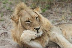 Lion resting chin. Male Lion (Panthera leo) closeup funny expression with paw under chin, Okavango Delat, Botswana stock photos