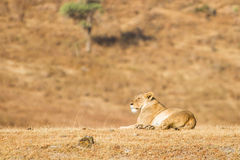 Lion resting. In the dawn sun Royalty Free Stock Photos