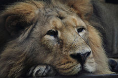 lion is resting Stock Photo