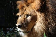 A Lion Stock Photo