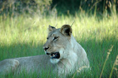 Lion resting in grass Royalty Free Stock Photography