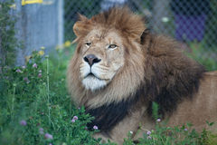 Lion resting on the grass in a safari Stock Photo
