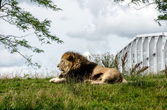 Lion resting in the grass. Under the trees Royalty Free Stock Image