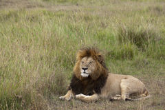 Lion resting in grassland Royalty Free Stock Photography