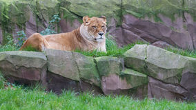 Lion resting in the green grass Royalty Free Stock Photo