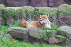 Lion resting in the green grass Stock Photo