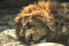 Lion is resting Royalty Free Stock Images