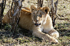 Lion Resting, Kenya Africa. A lion, big cat,  rests on the grasses of the savannah of the Masai Mara National Reserve, Kenya, Africa Royalty Free Stock Image