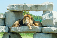 Lion Resting. Lazy Lion resting on rocks Royalty Free Stock Photo