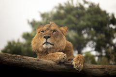 Lion resting on a log stock photo