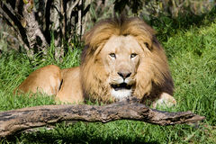 Lion. The lion is resting after lunch,Perth Zoo Stock Image