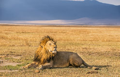 Lion resting in the Ngorongoro Crater Stock Photo