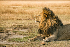 Lion resting in the Ngorongoro Crater Stock Photos