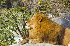 Lion resting panthera leo Royalty Free Stock Photo
