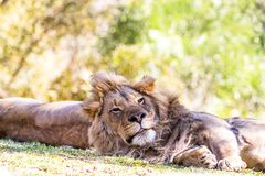 Lion resting with partner Royalty Free Stock Image