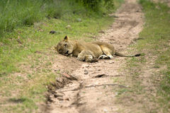 Lion resting on a road Royalty Free Stock Images