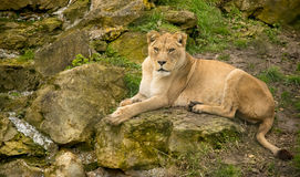 Lion resting on a rock Stock Photography