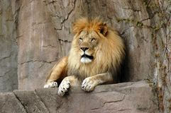 Lion resting on a rock ledge at Brookfield zoo Stock Image