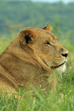 Lion resting in safari park in South Africa Stock Image