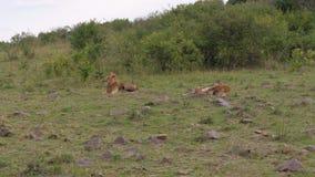 Lion Resting salvaje adulto, pequeños leones que juegan en sabana del africano de la hierba verde almacen de video