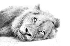 Lion resting on sand high key. Black and white stock photo