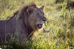 Lion resting on a savanna at sunrise Royalty Free Stock Image