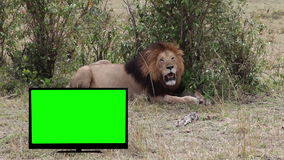 Lion  resting in savannah.    TV with Green screen. stock video
