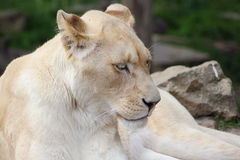 A lion resting on some rocks Stock Photos