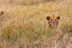 The lion is resting in the thick grass. Kenya Royalty Free Stock Photo
