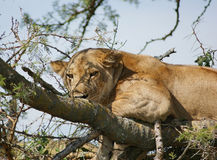 Lion resting on a tree Stock Image