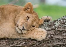 Lion resting on tree. A female lion escapes the bugs by resting in a tree. Taken in Tanzania Stock Photo