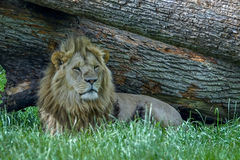 Lion resting. A lion resting by a tree trunk looking for prey Royalty Free Stock Photography